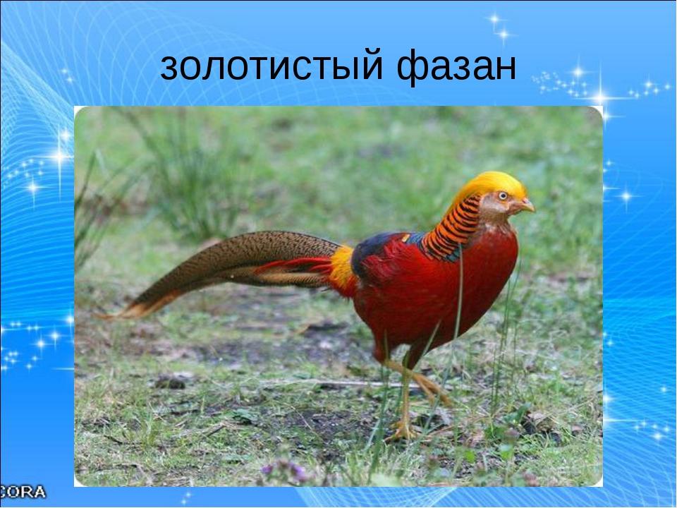 золотистый фазан