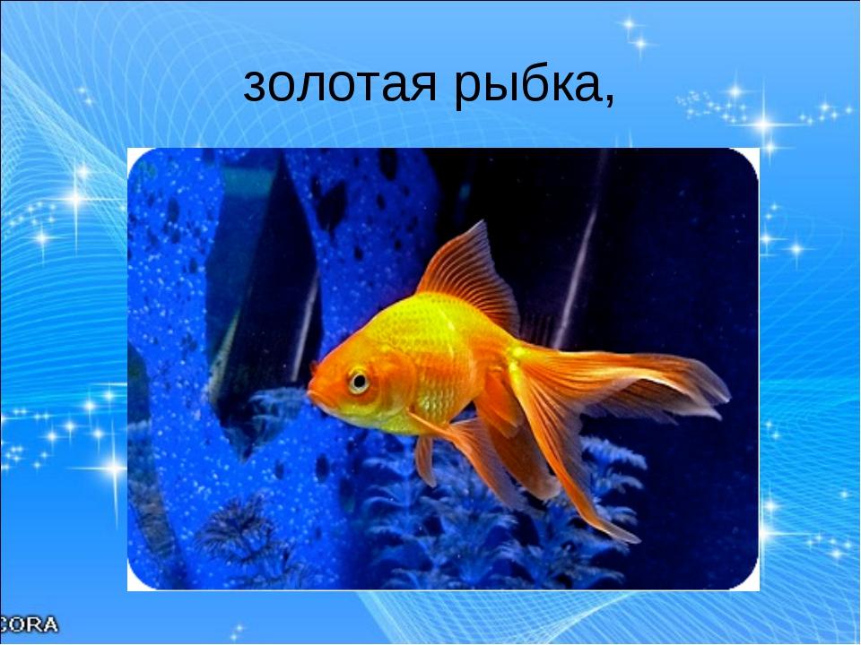 золотая рыбка,