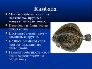 Камбала Мелкие камбалы живут на мелководье, крупные живут в глубоких водах. П