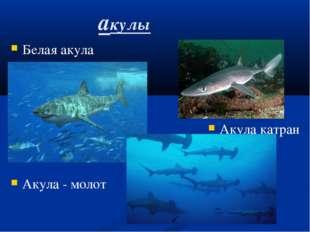 акулы Белая акула Акула катран Акула - молот