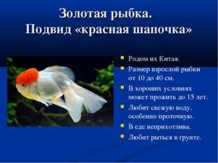 Золотая рыбка. Подвид «красная шапочка» Родом их Китая. Размер взрослой рыбки