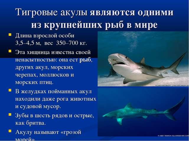 Тигровые акулыявляются одними из крупнейших рыб в мире Длина взрослой особи...