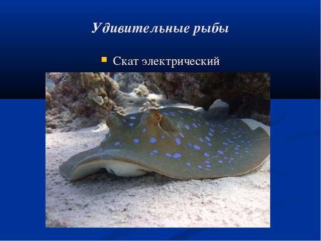 Удивительные рыбы Скат электрический
