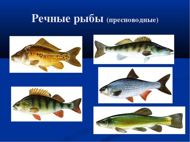 Речные рыбы (пресноводные)