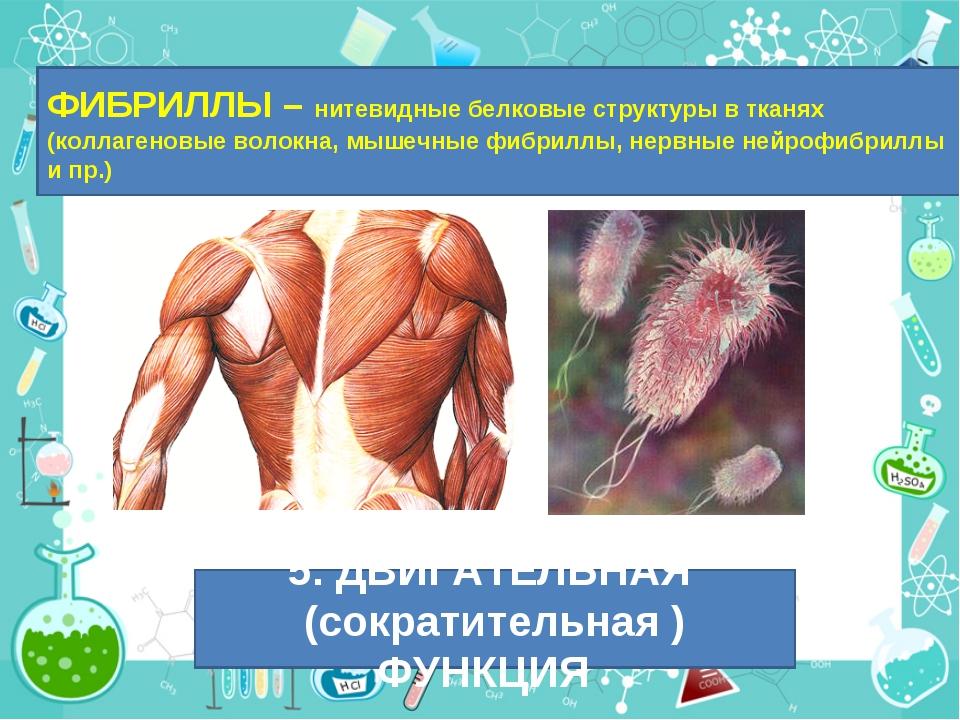 ФИБРИЛЛЫ – нитевидные белковые структуры в тканях (коллагеновые волокна, мыше...