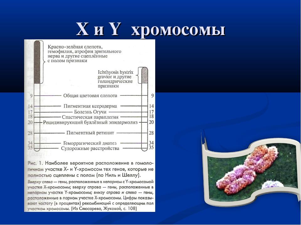 Х и Y хромосомы