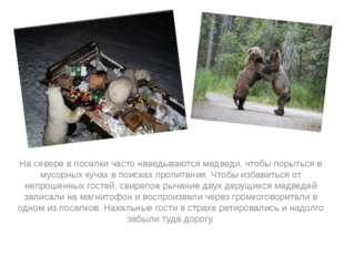 На севере в поселки часто наведываются медведи, чтобы порыться в мусорных ку