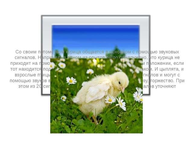 Со своим потомством курица общается в основном с помощью звуковых сигналов....