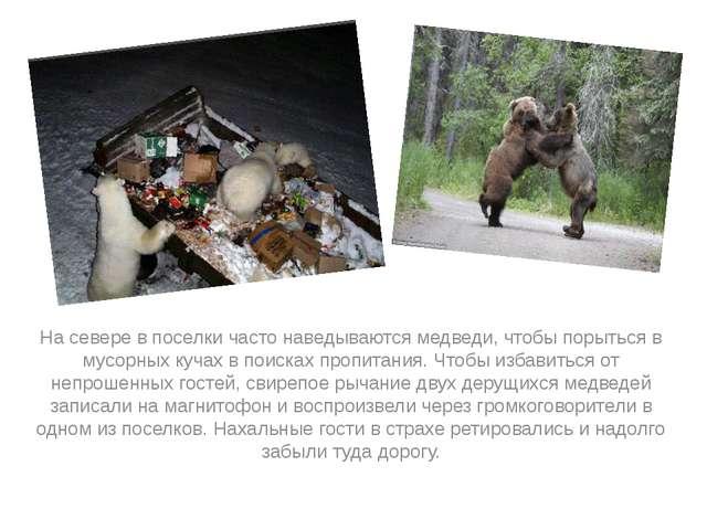 На севере в поселки часто наведываются медведи, чтобы порыться в мусорных ку...