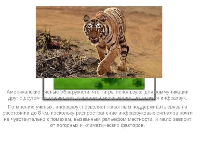 Американские ученые обнаружили, что тигры используют для коммуникации друг с...