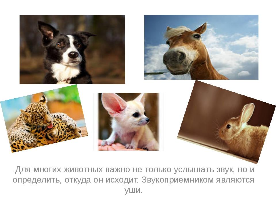 . Для многих животных важно не только услышать звук, но и определить, откуда...