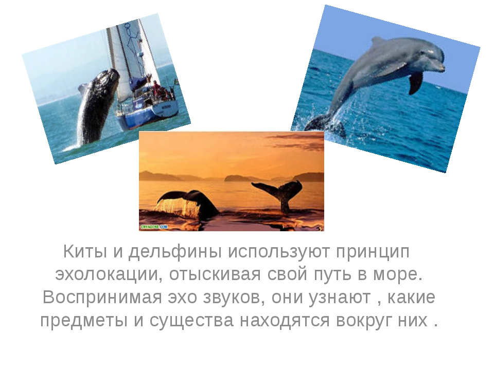Киты и дельфины используют принцип эхолокации, отыскивая свой путь в море. В...