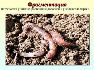 Фрагментация Встречается у низших растений водорослей и у кольчатых червей