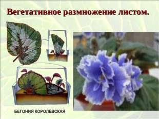 Вегетативное размножение листом.