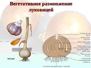 Вегетативное размножение луковицей
