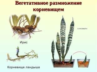 Вегетативное размножение корневищем