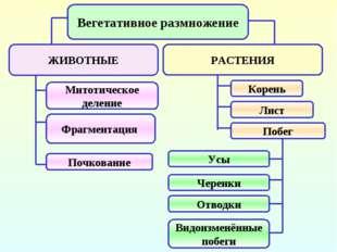 Вегетативное размножение ЖИВОТНЫЕ РАСТЕНИЯ Митотическое деление Фрагментация