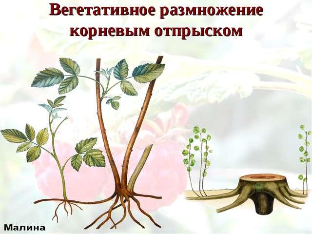 Вегетативное размножение корневым отпрыском