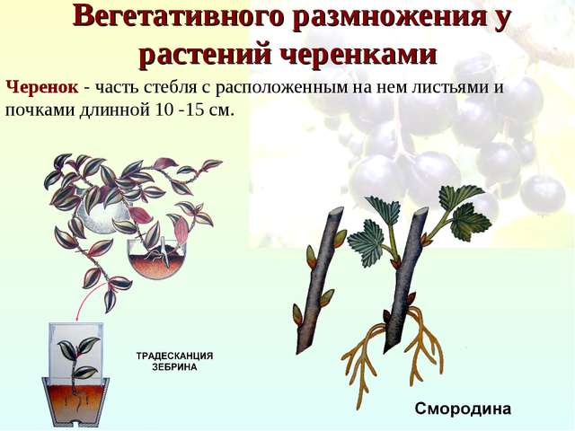 Вегетативного размножения у растений черенками Черенок - часть стебля с расп...