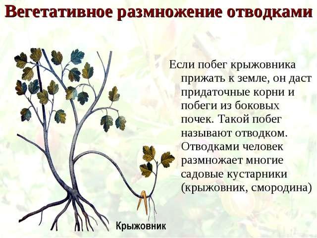Вегетативное размножение отводками Если побег крыжовника прижать к земле, он...