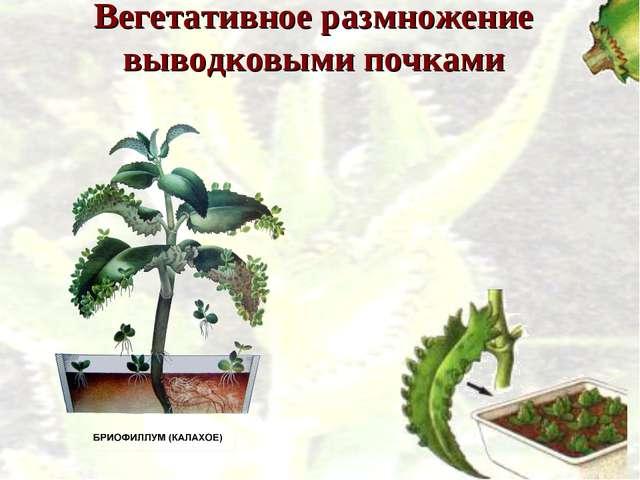 Вегетативное размножение выводковыми почками