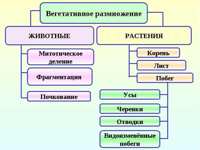 Вегетативное размножение ЖИВОТНЫЕ РАСТЕНИЯ Митотическое деление Фрагментация...