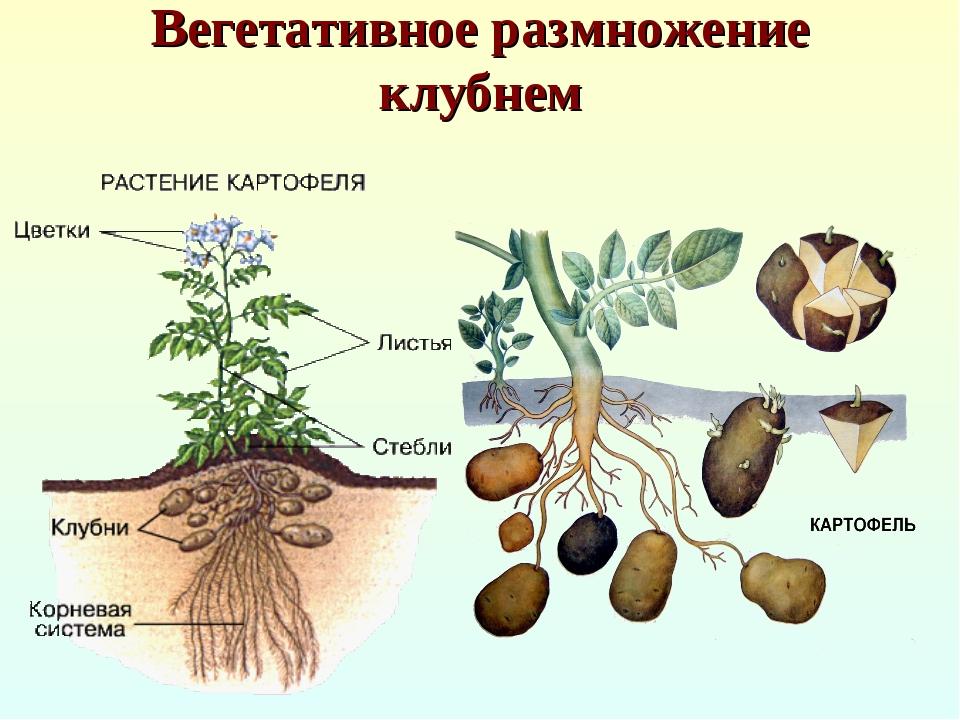 Вегетативное размножение клубнем