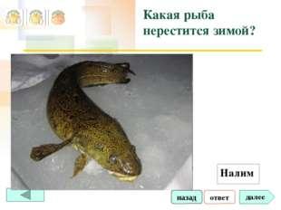 ответ далее Какая рыба нерестится зимой? Налим назад