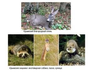 Крымский благородный олень Крымские хищники: енотовидная собака, ласка, куница.