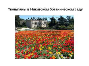 Тюльпаны вНикитскомботаническомсаду