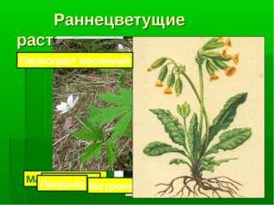 Раннецветущие растения Мать-и-мачеха Подснежник Медуница Ландыш Ветреница ду