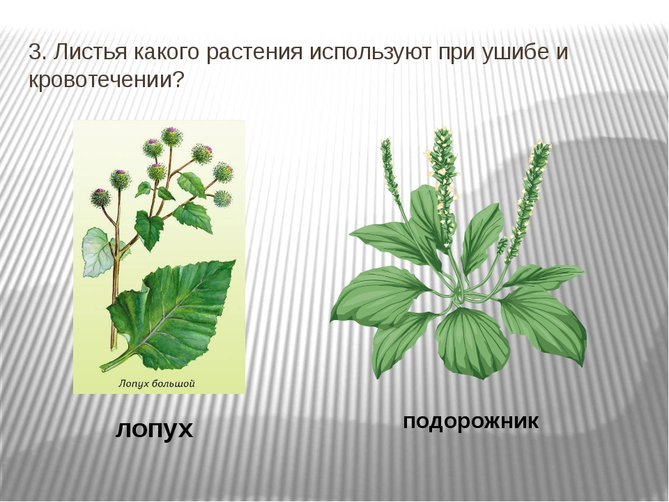 3. Листья какого растения используют при ушибе и кровотечении? лопух подорожник
