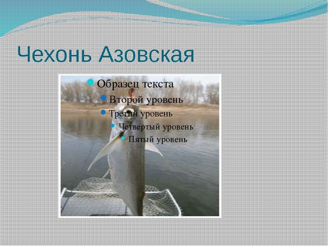 Чехонь Азовская