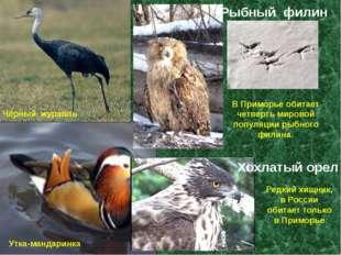 Чёрный журавль Утка-мандаринка В Приморье обитает четверть мировой популяции