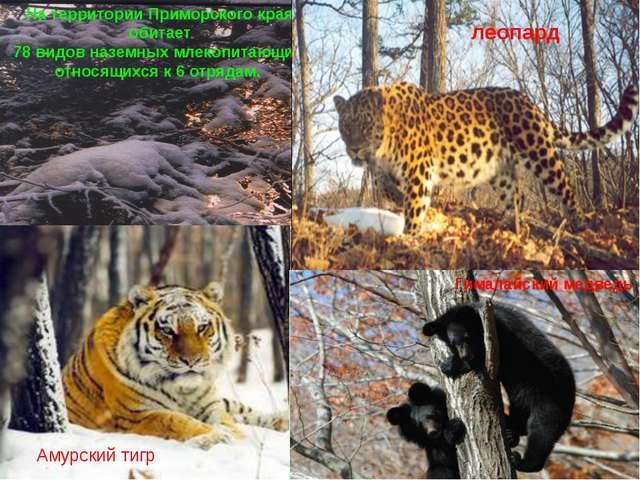 На территории Приморского края обитает 78 видов наземных млекопитающих, относ...