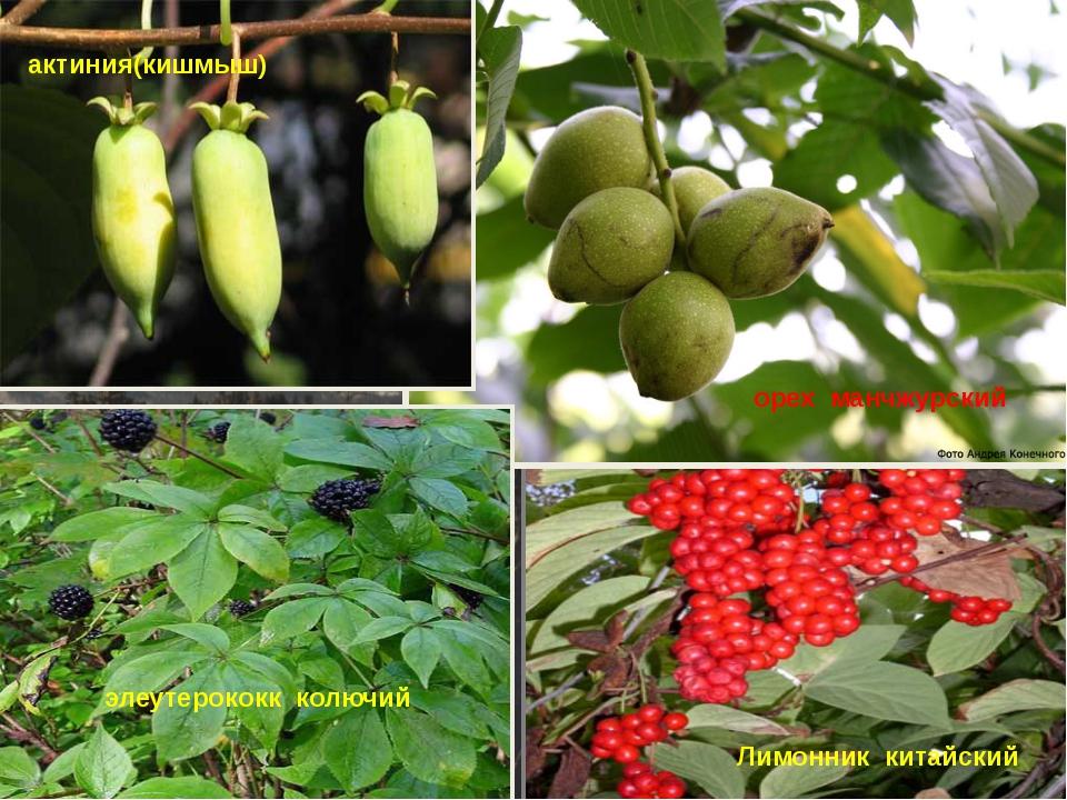 Лимонник китайский орех манчжурский элеутерококк колючий актиния(кишмыш)