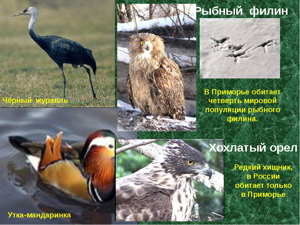 Чёрный журавль Утка-мандаринка В Приморье обитает четверть мировой популяции...