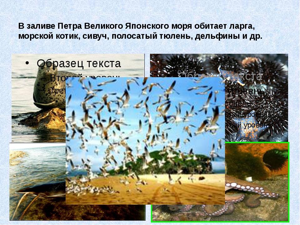 В заливе Петра Великого Японского моря обитает ларга, морской котик, сивуч, п...