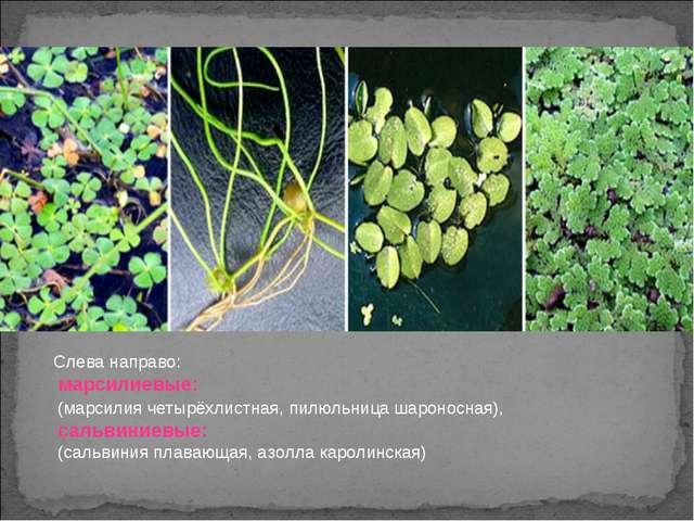 Слева направо: марсилиевые: (марсилия четырёхлистная, пилюльница шароносная),...
