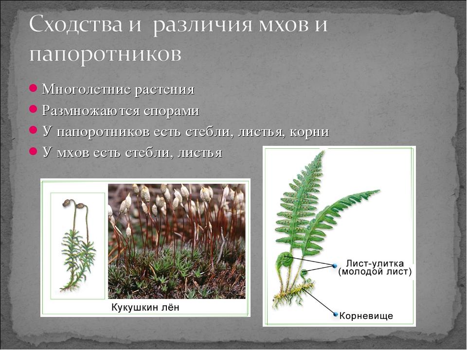 Многолетние растения Размножаются спорами У папоротников есть стебли, листья,...