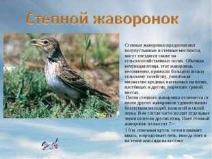 Степные жаворонки предпочитают полупустынные и степные местности, могут гнезд