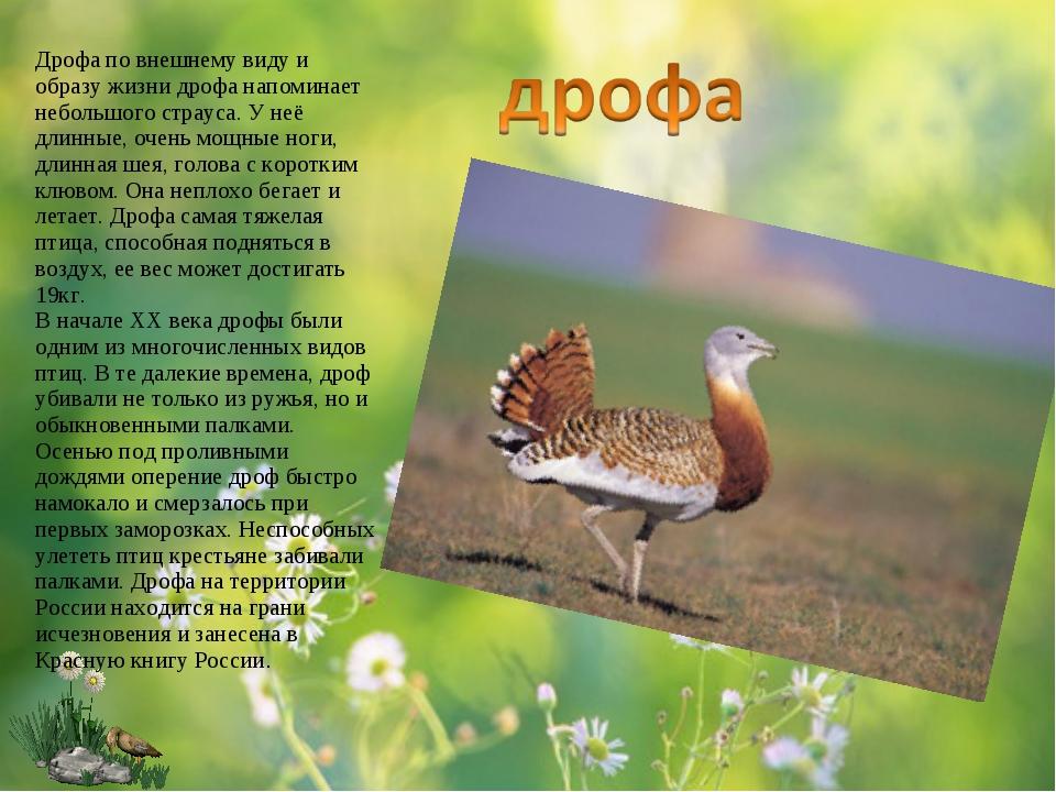 Дрофа по внешнему виду и образу жизни дрофа напоминает небольшого страуса. У...