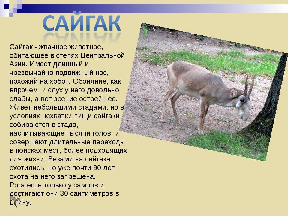Сайгак- жвачное животное, обитающее в степях Центральной Азии. Имеет длинный...
