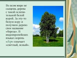 Во всем мире не сыщешь дерева с такой ослепи-тельной белой корой. За эту-то