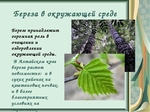 Береза в окружающей среде Березе принадлежит огромная роль в очищении и оздор...