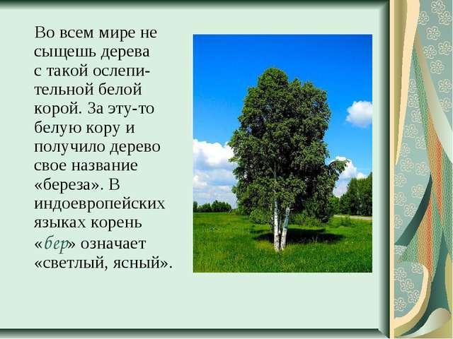 Во всем мире не сыщешь дерева с такой ослепи-тельной белой корой. За эту-то...