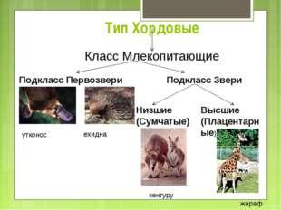Тип Хордовые Класс Млекопитающие Подкласс Первозвери Подкласс Звери Низшие (С