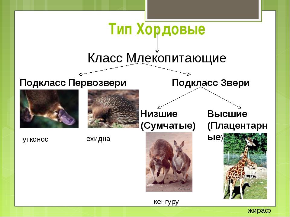 Тип Хордовые Класс Млекопитающие Подкласс Первозвери Подкласс Звери Низшие (С...