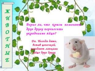 Ж И В О Т Н Ы Е Верно ли, что крысы помогают друг другу переносить украденные
