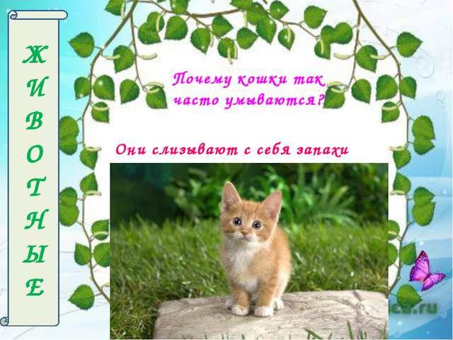 Ж И В О Т Н Ы Е Почему кошки так часто умываются? Они слизывают с себя запахи